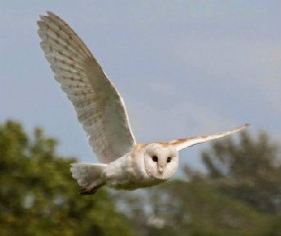 barn owl over the nature reserve page